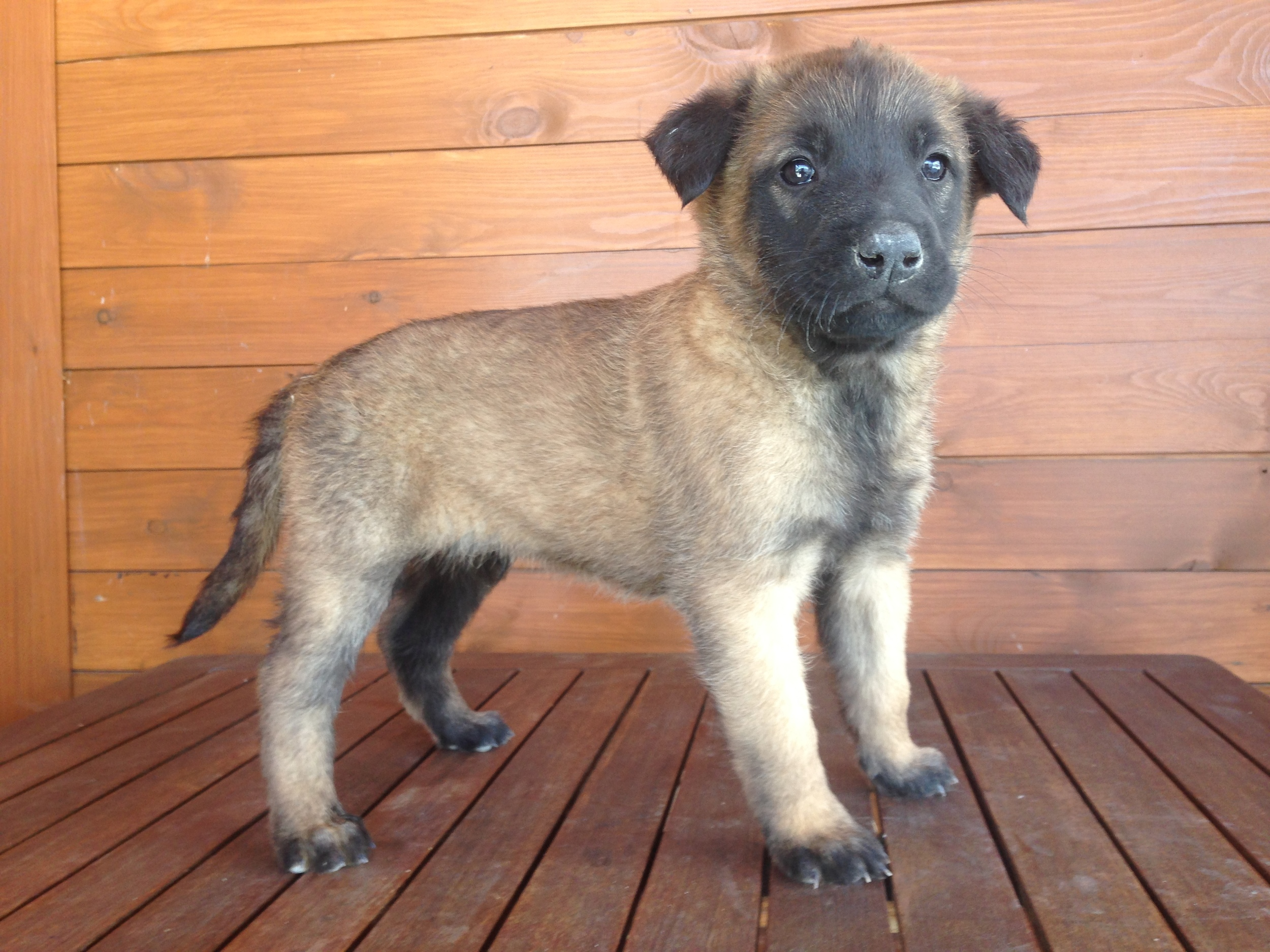 Male puppy #2