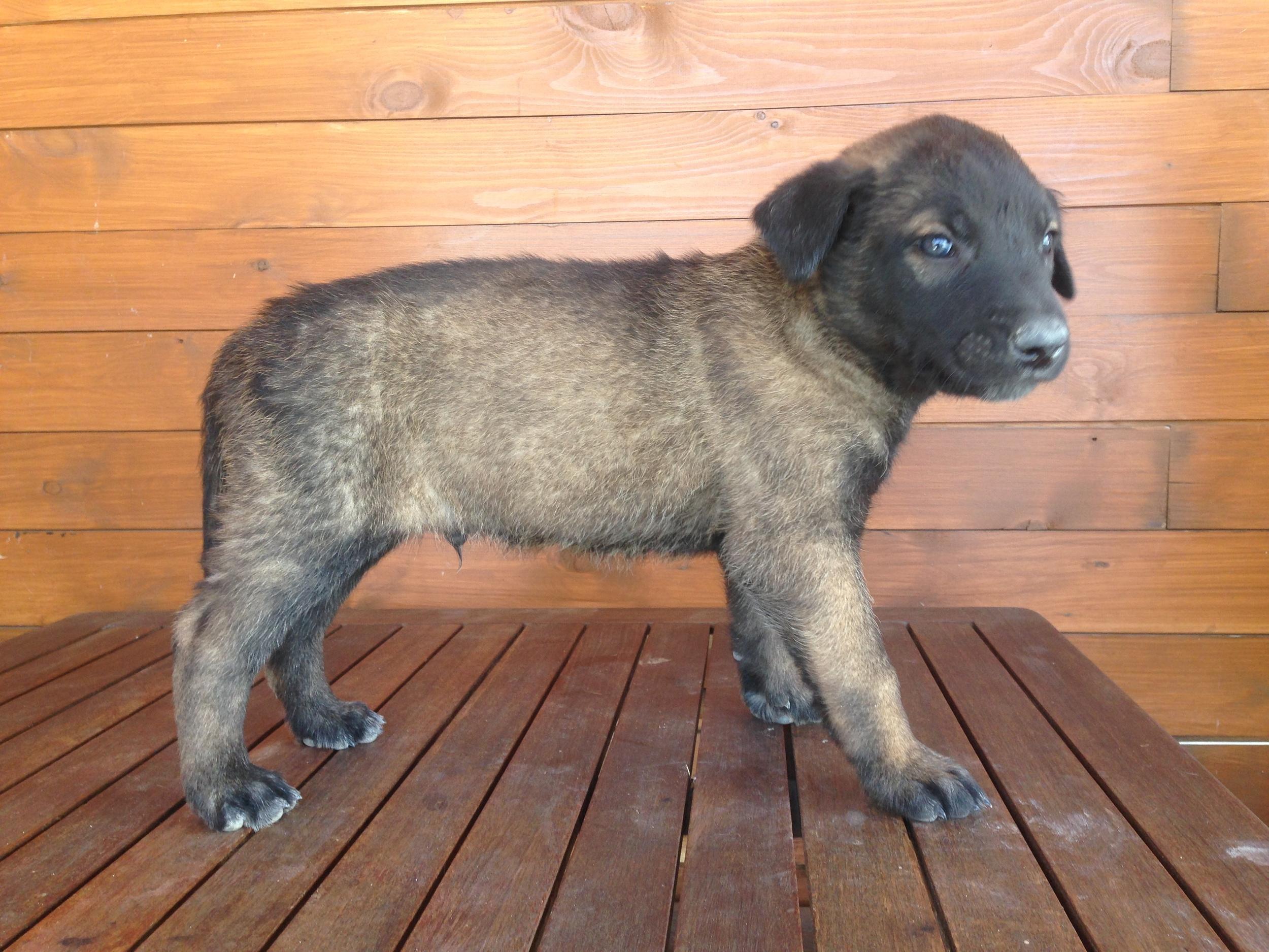 Male puppy #4