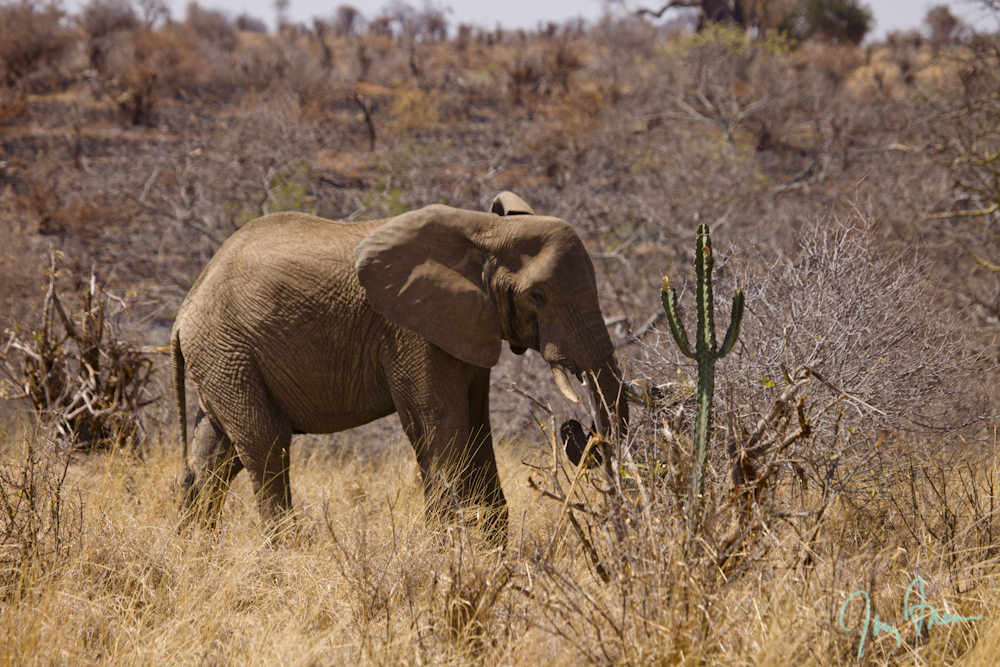 Freeman-Law-Slideshow-Africa-Elephant-by-desert-cactus.JPG