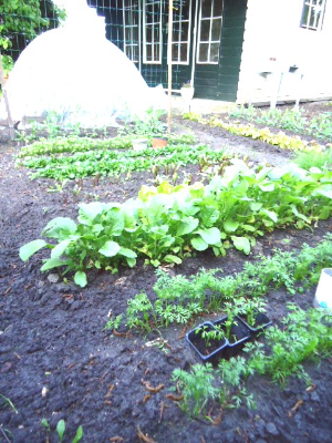 My Vegetable Garden, late May 2013.