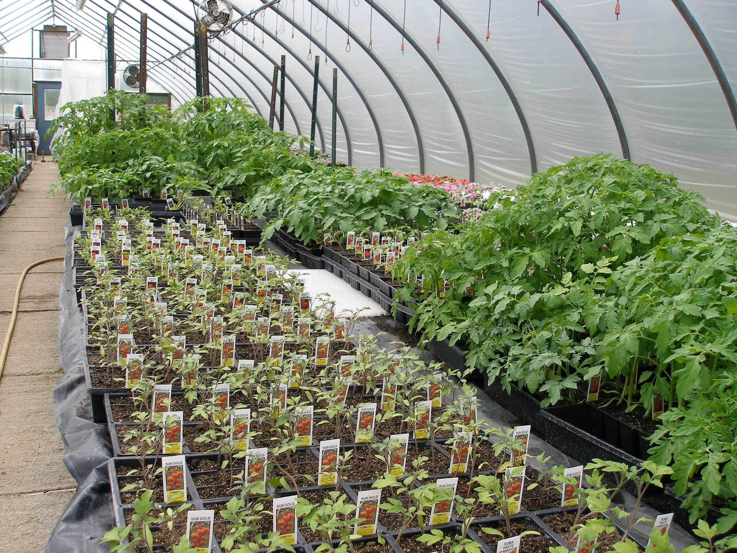 Staggered plantings of tomatoes.