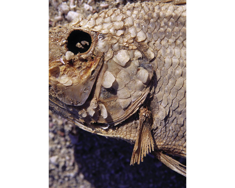 petrified fish head