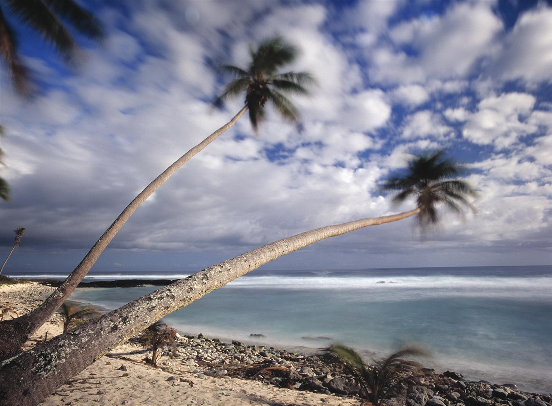 palms in the tradewind, Samoa