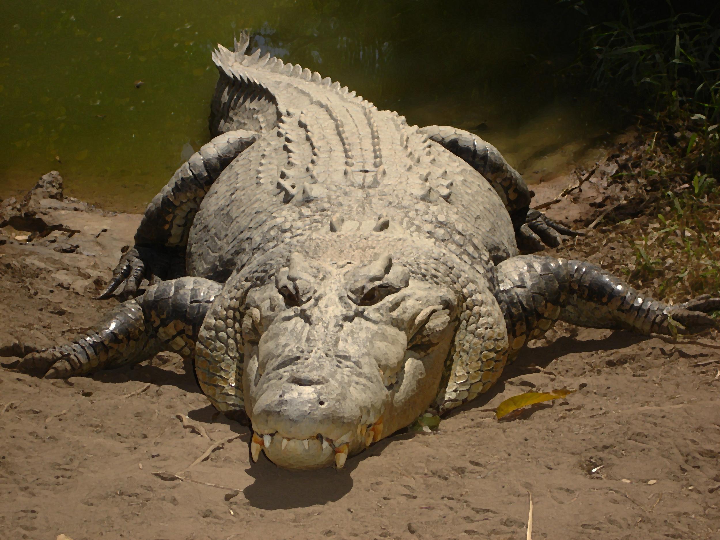 "Salt Water Croc. - Largest reptile 24""x48"". Fine Art Photography on Plexiglas. & Printer's Proof Available 24""x48"" framed."