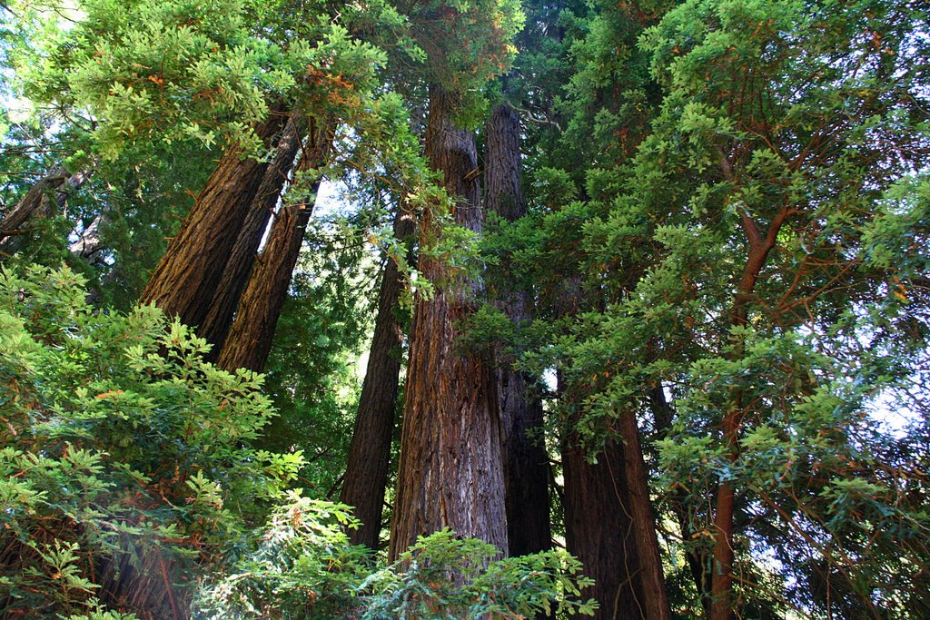 """Image via Google search for """"' Sequoia sempervirens' and while you're at it, hand me those divorce papers"""""""