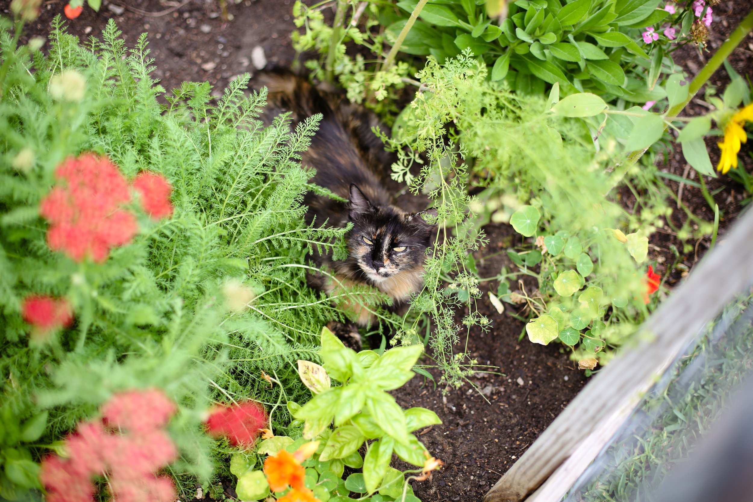 Mama kitty, Tiger, surrounded by nasturtium, basil, cilantro, bell peppers, and a flower I planted last summer that is trying to take over.