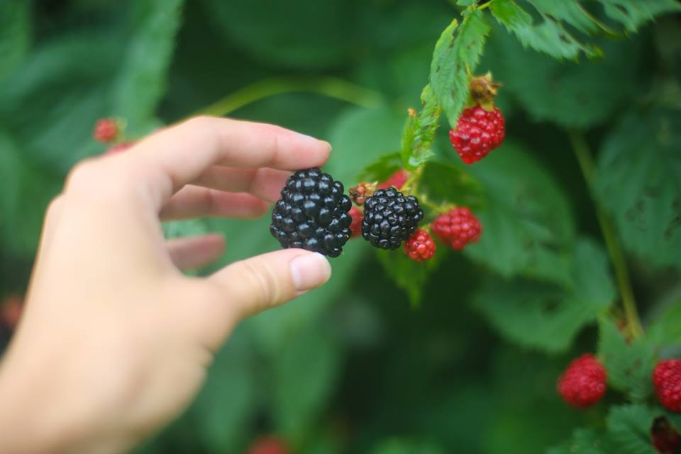 We have blackberry vines all along our backyard fence, one of our plants produces huge berries in late summer!