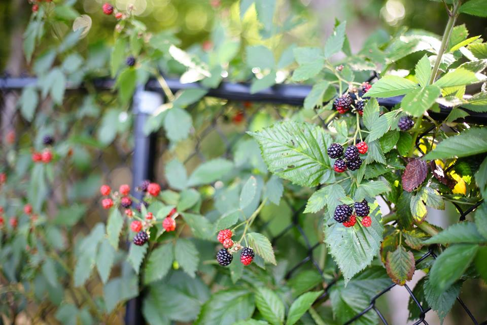 You can root the ends of the blackberry off shoots in to the ground, once roots form cut it from the vine and you will have a new blackberry to plant some where else in your yard! Or give to a friend.