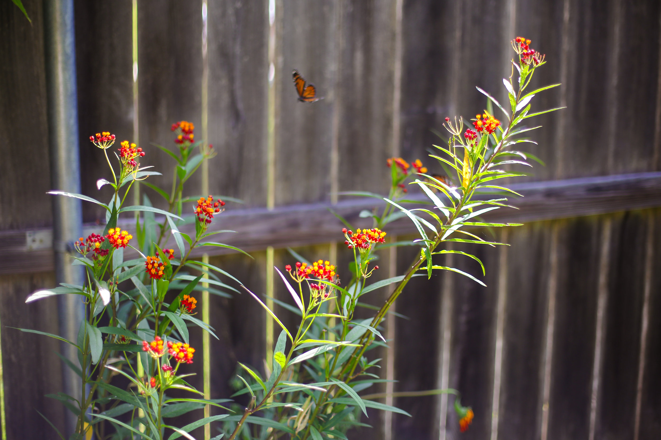 Tropical Milkweed and Monarch butterfly