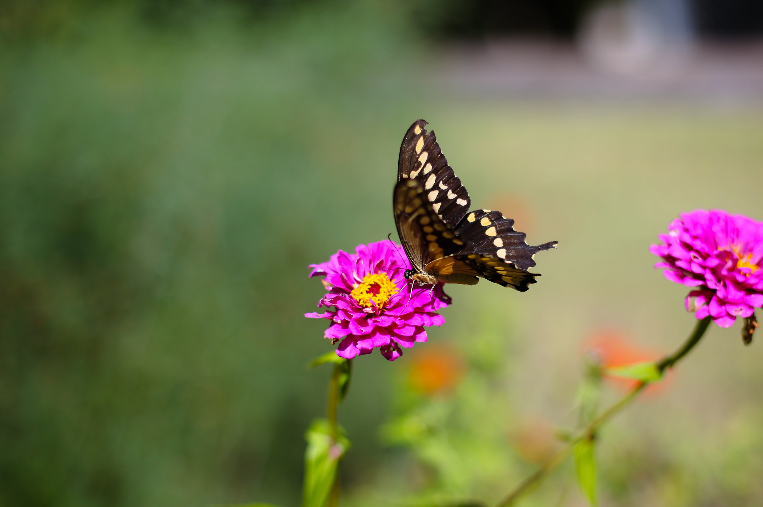 The differnet types of swallowtail & frittillary butterflies really liked the Zinnia flowers-- ** NOT TO MENTION all of these flowers make beautiful arrangements for your home in a vase on your dining room table! **