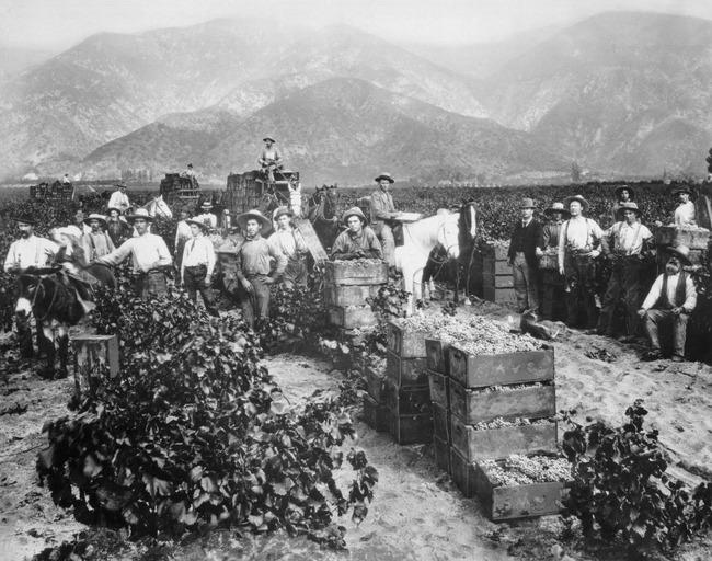 grape_harvest_near_pasadena_1898-thumb-650x512-5260.jpg