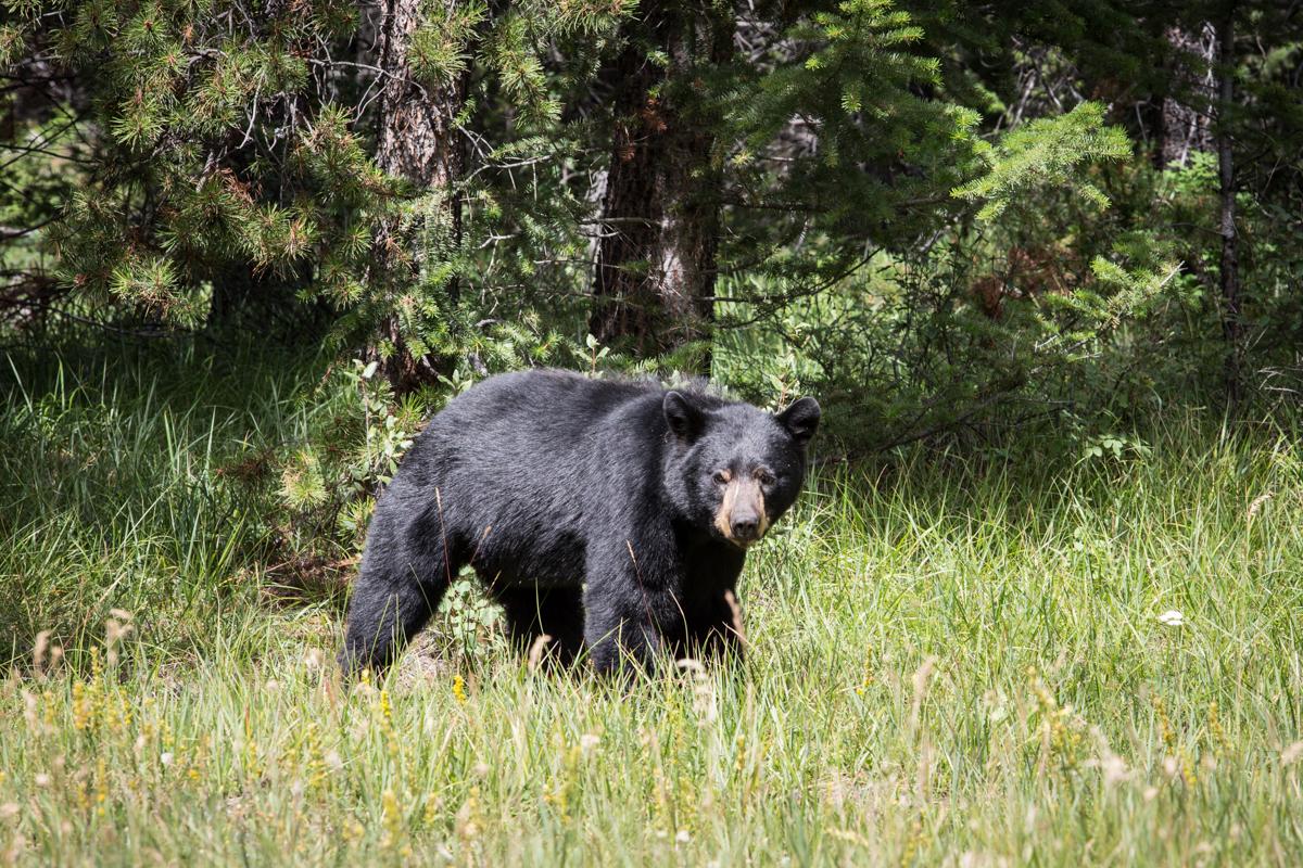 Black Bear, Jasper National Park