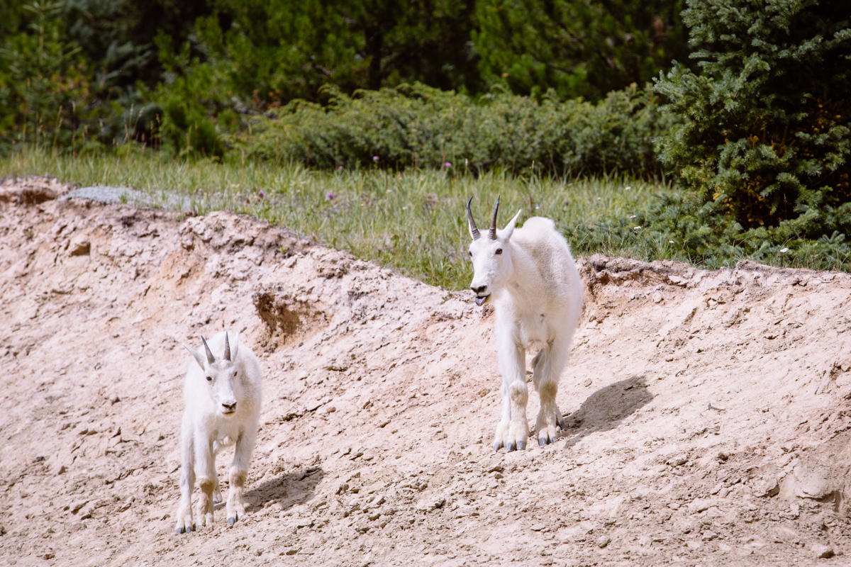 Mountain Goats, Jasper National Park