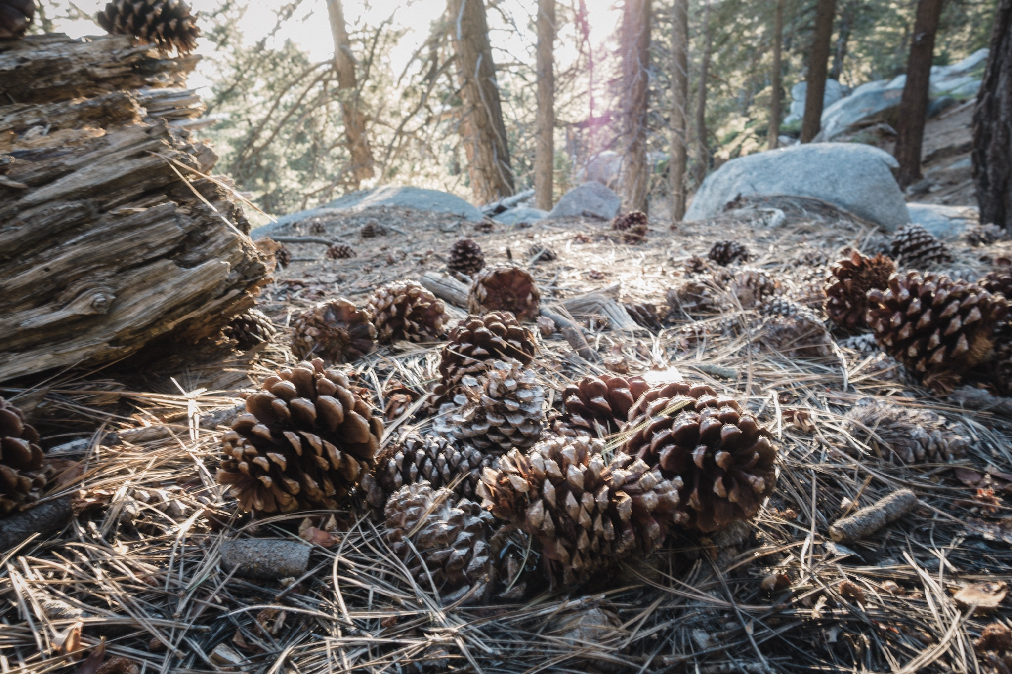 I love these huge pine cones.