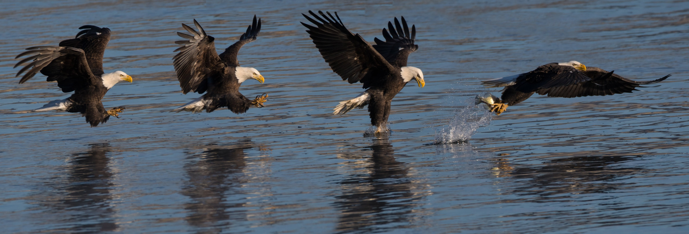 Eagle fishing at the Coniwingo Dam in Maryland.