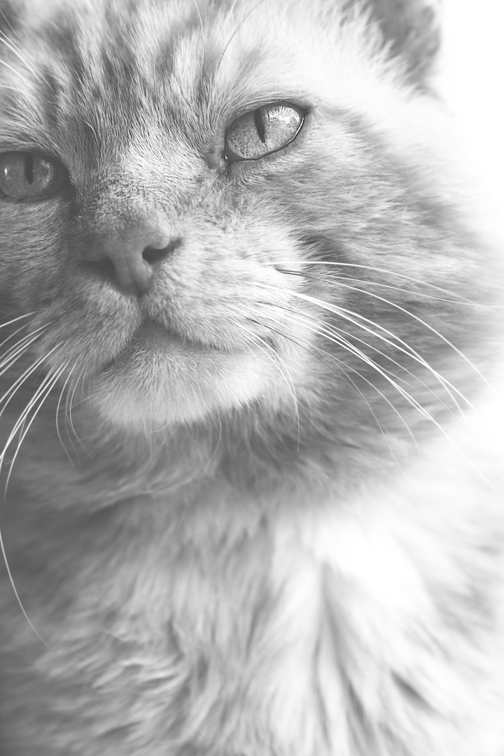 Fine art black and white close-up photograph of a cat's face