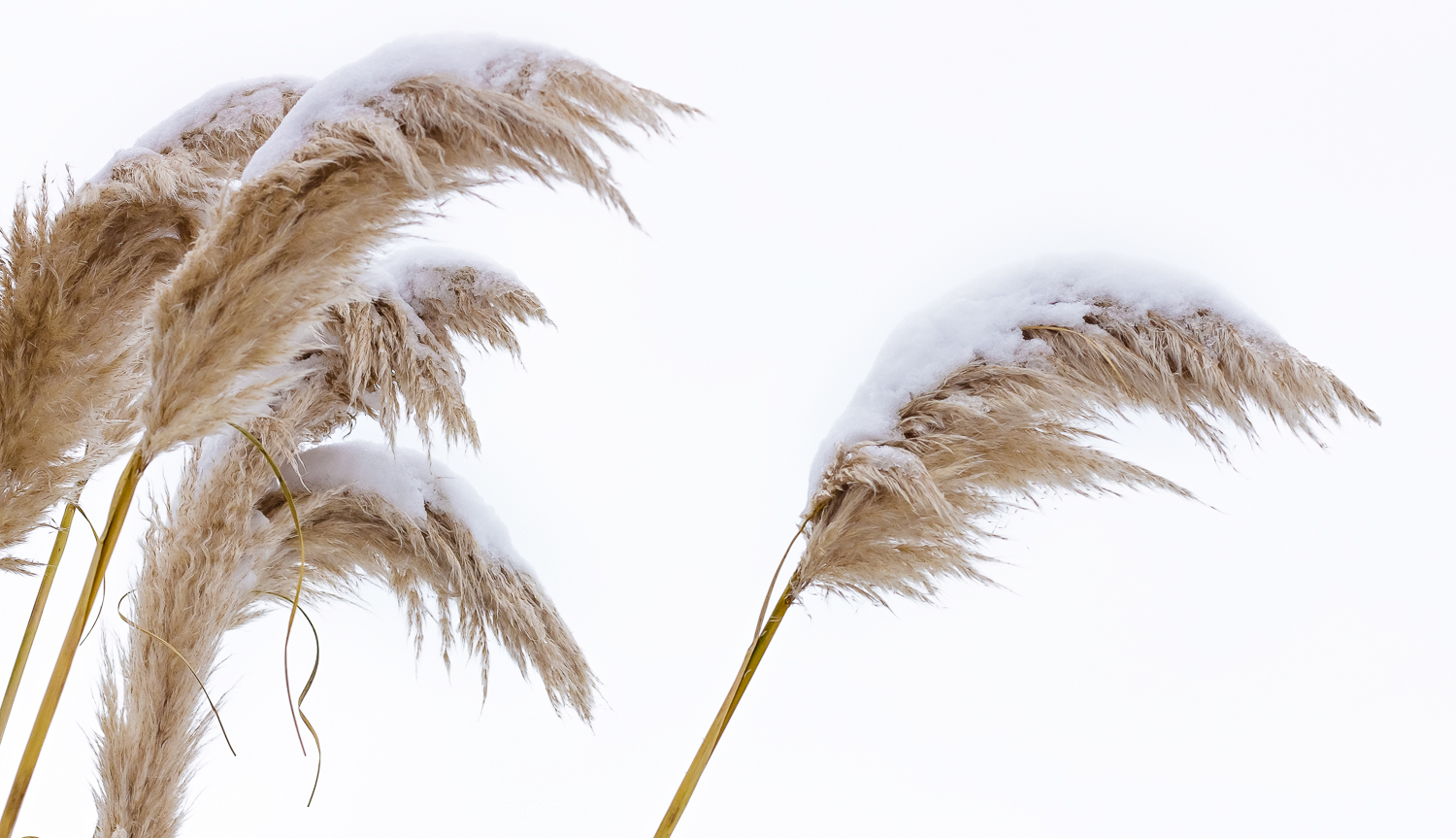 Snow covered pampas grass flowing in the winter wind