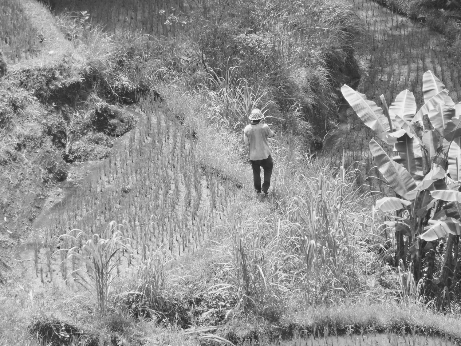 Landscape photograph showing a rice padi worker in his field in the distance