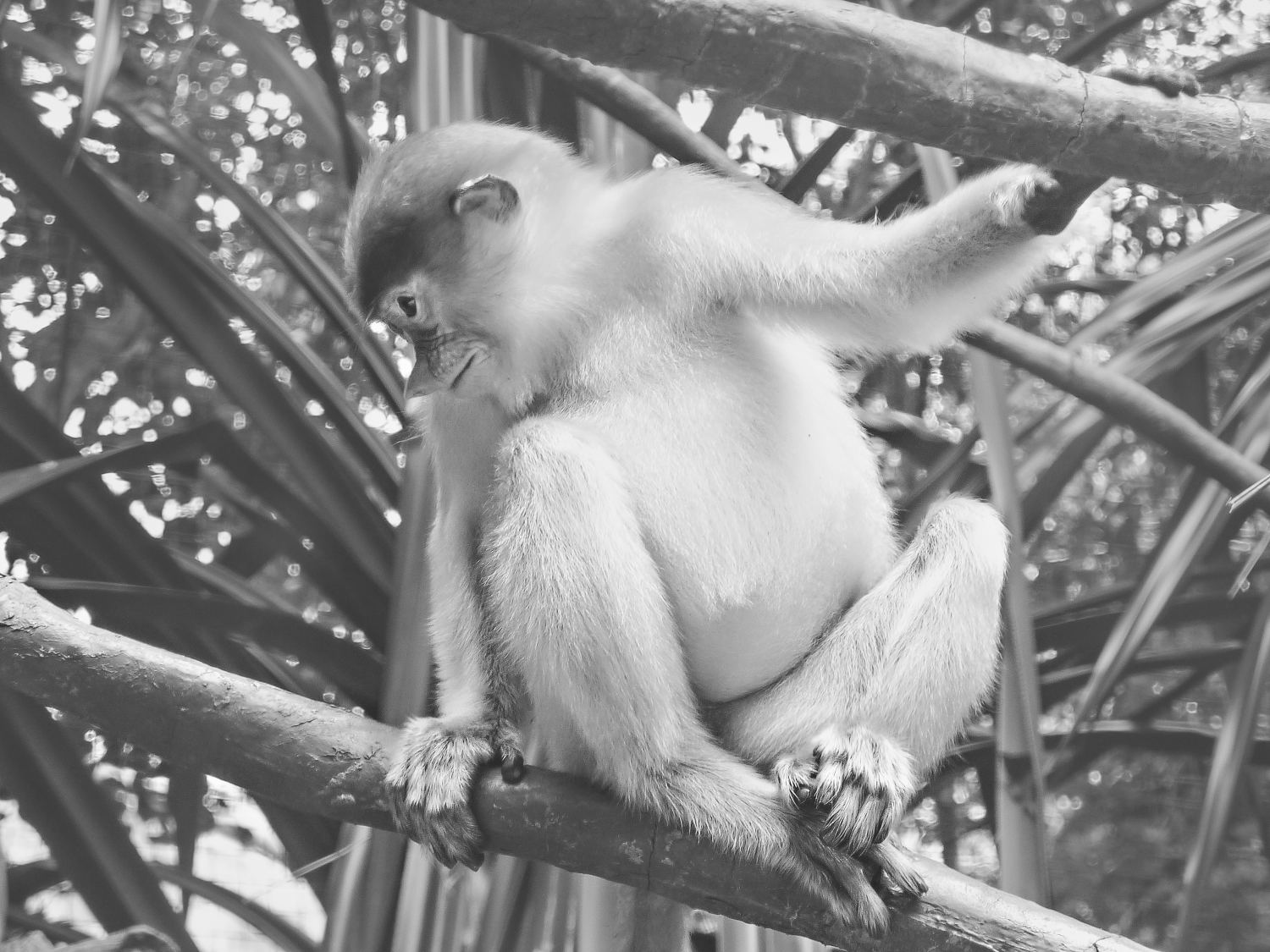 Proboscis Monkey rests on a branch at Singapore Zoo