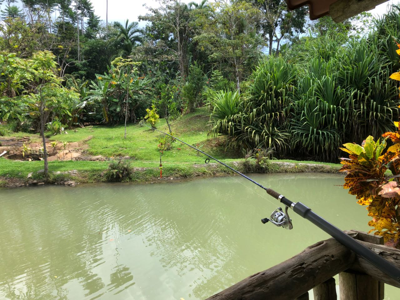 Personal Tilapia Pond!