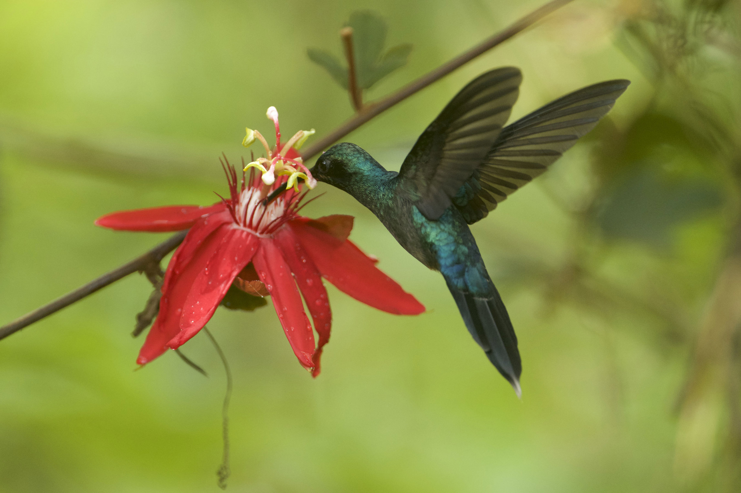 (Foto - Randall Ortega Chavez) A local hummingbird feeds off of the nectar of this tropical flower.