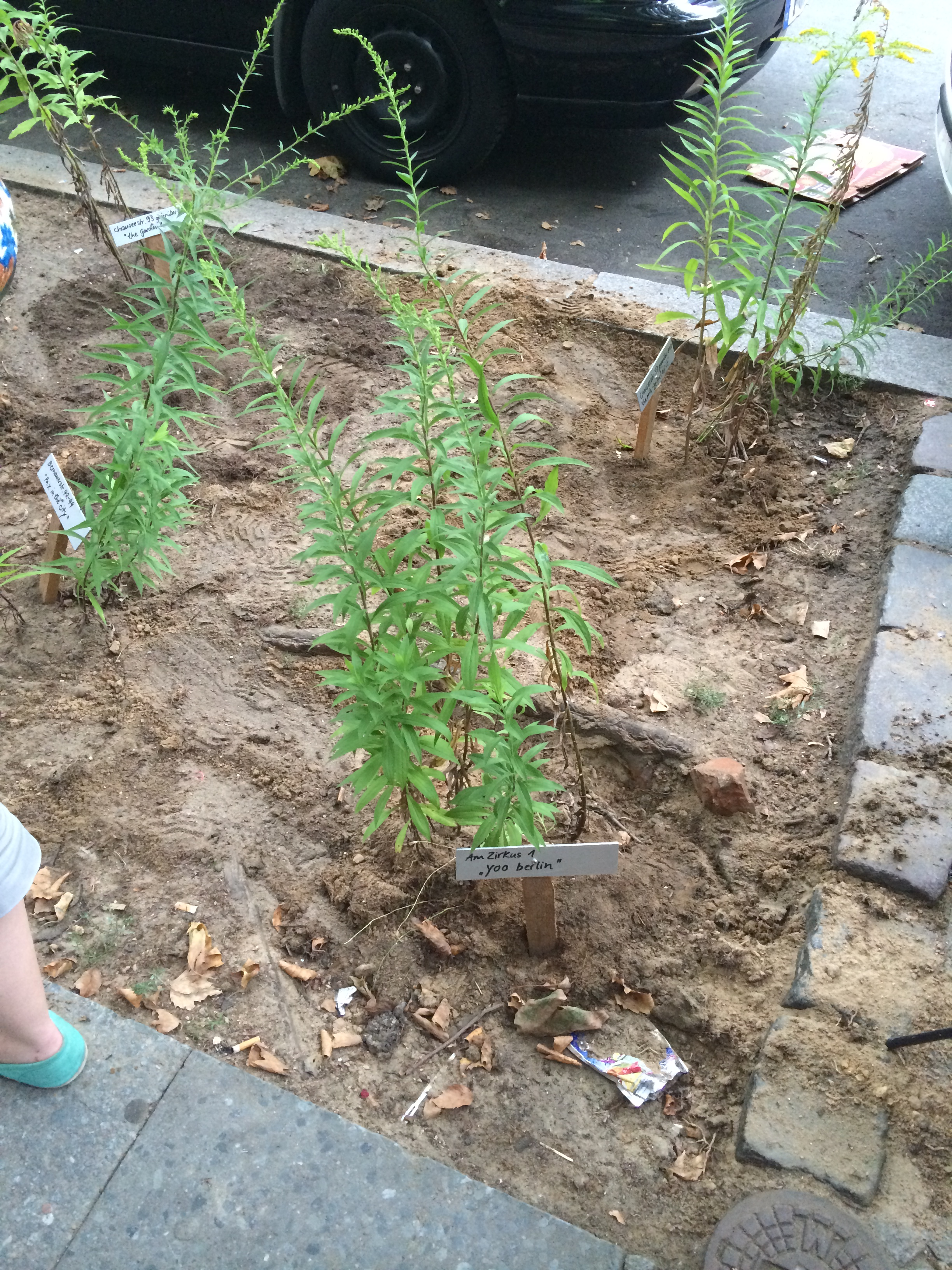 """the planted goldenrods--closest one called """"yoo berlin"""""""