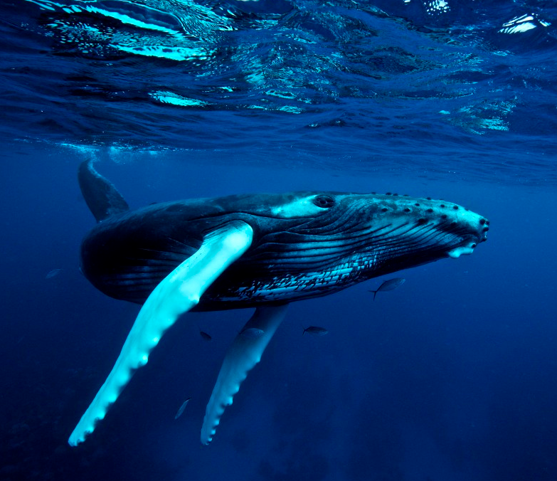 http://www.uwphotographyguide.com/humpback-whales-silverbank