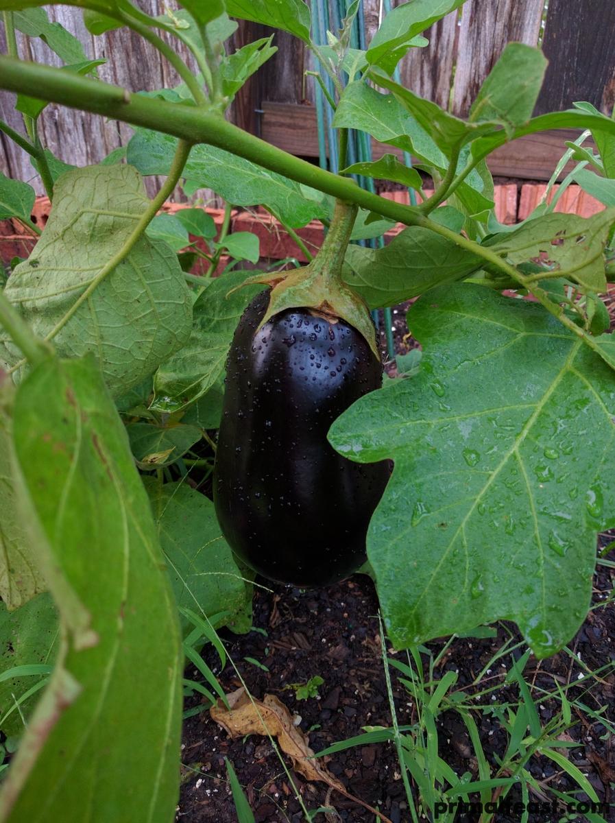 2016-0828-eggplant-001.jpg