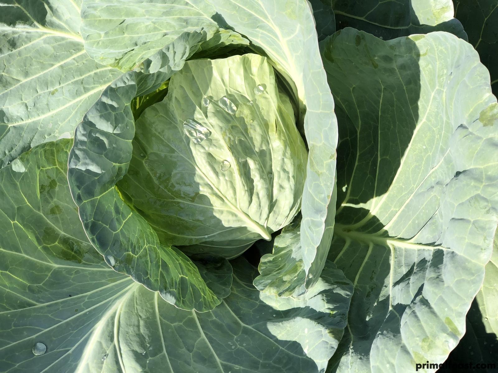 2017 1122 cabbage 022.jpg