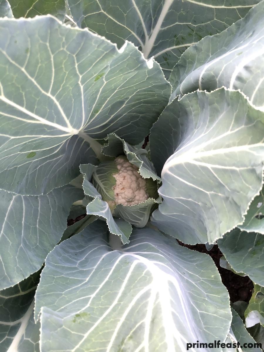 2017 1201 broccoli cabbage cauliflower 002.jpg