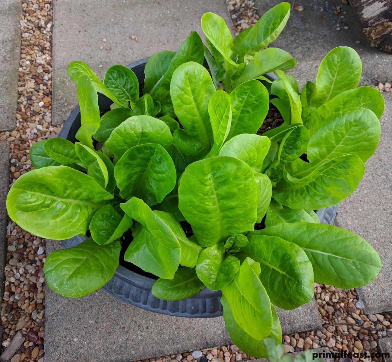 2018 0404 lettuce.jpg