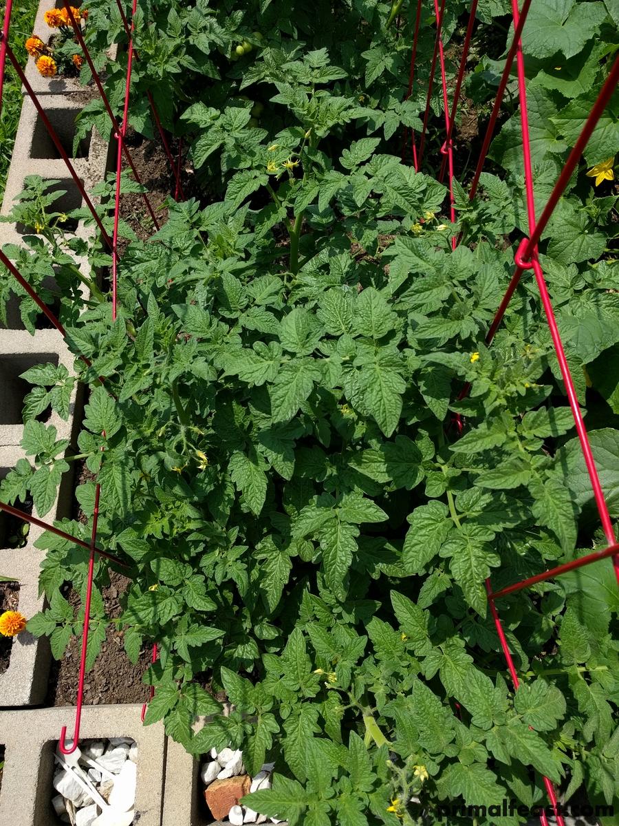 2018 0502 tomatoes 007.jpg