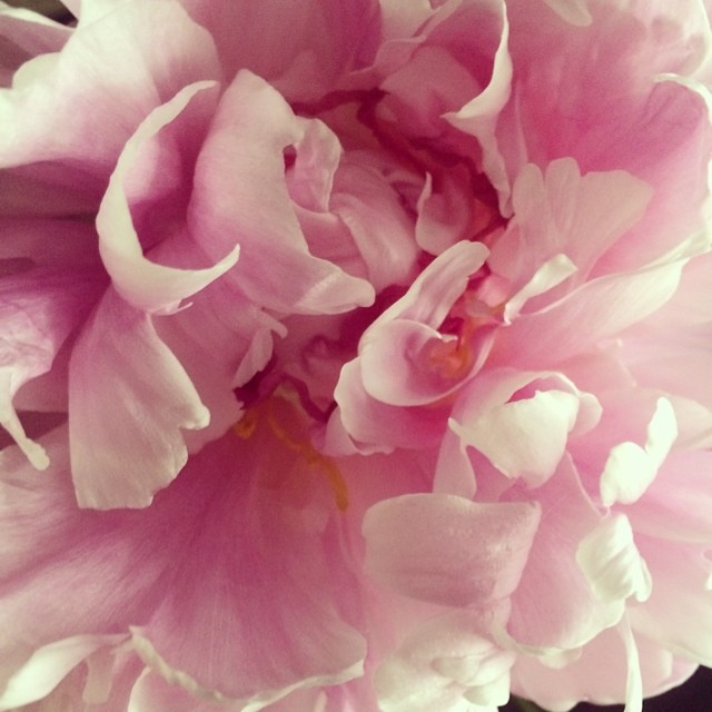 Falling in love all over again with peonies.