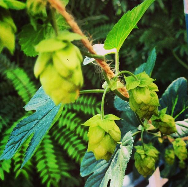 homebrew hops.png