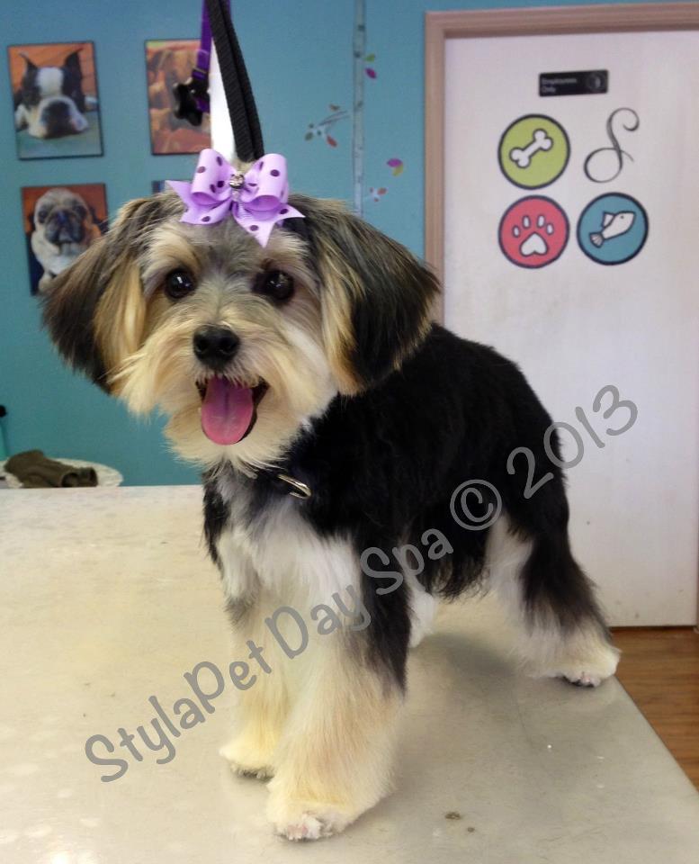 'Bella' Maltese/Yorkie Puppy