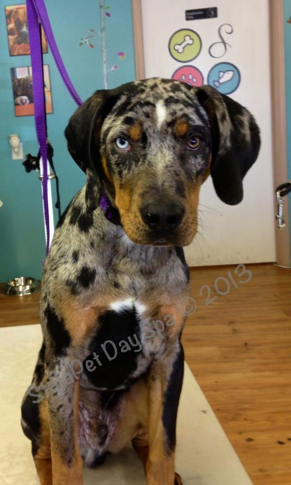 'Hank' Catahoula Leopard Dog puppy
