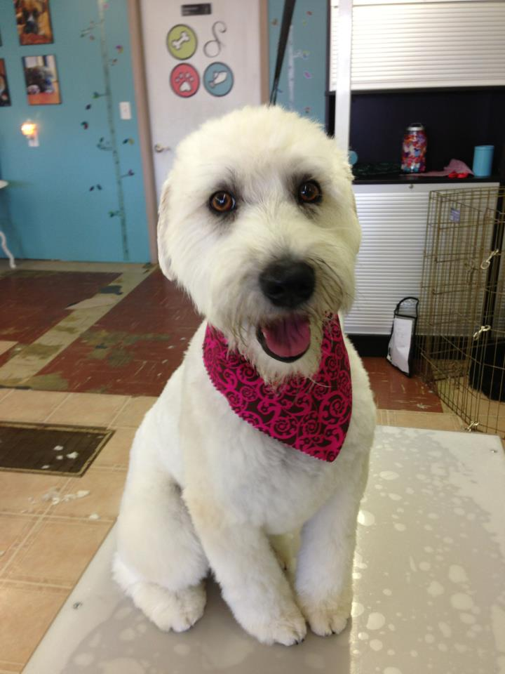 'Lucy' Soft Coated Wheaten Terrier