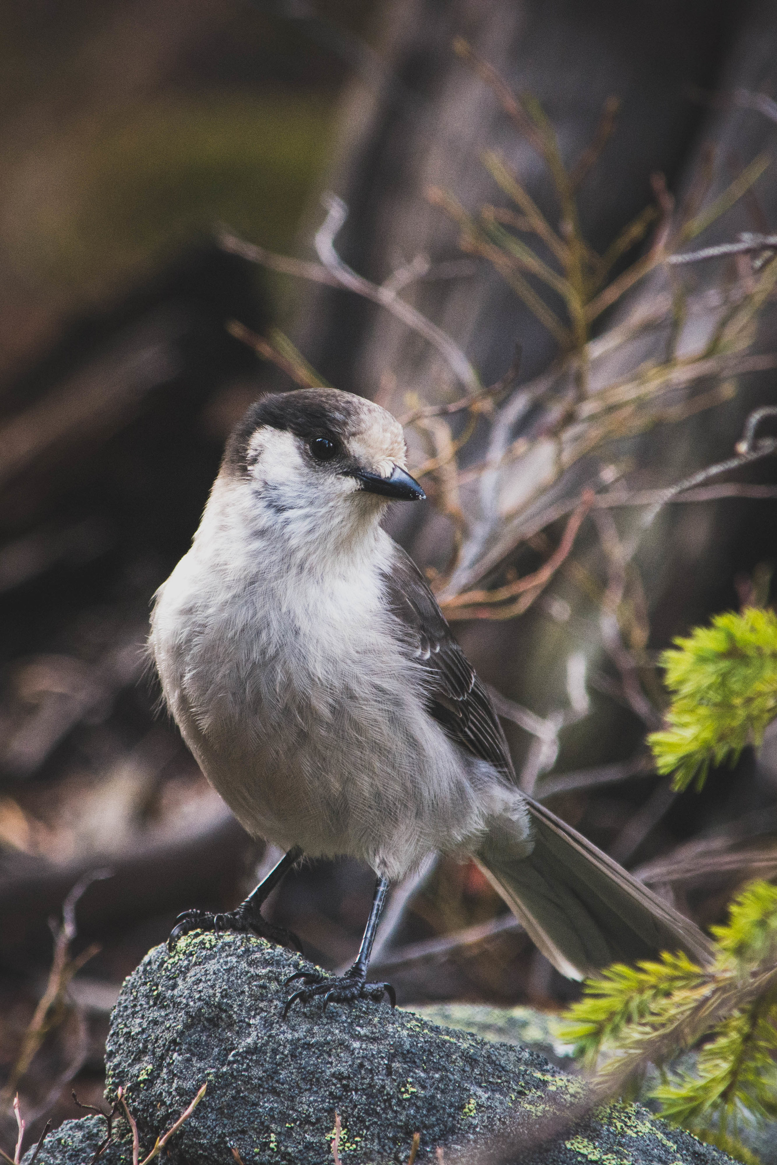 old-gray jay.jpg