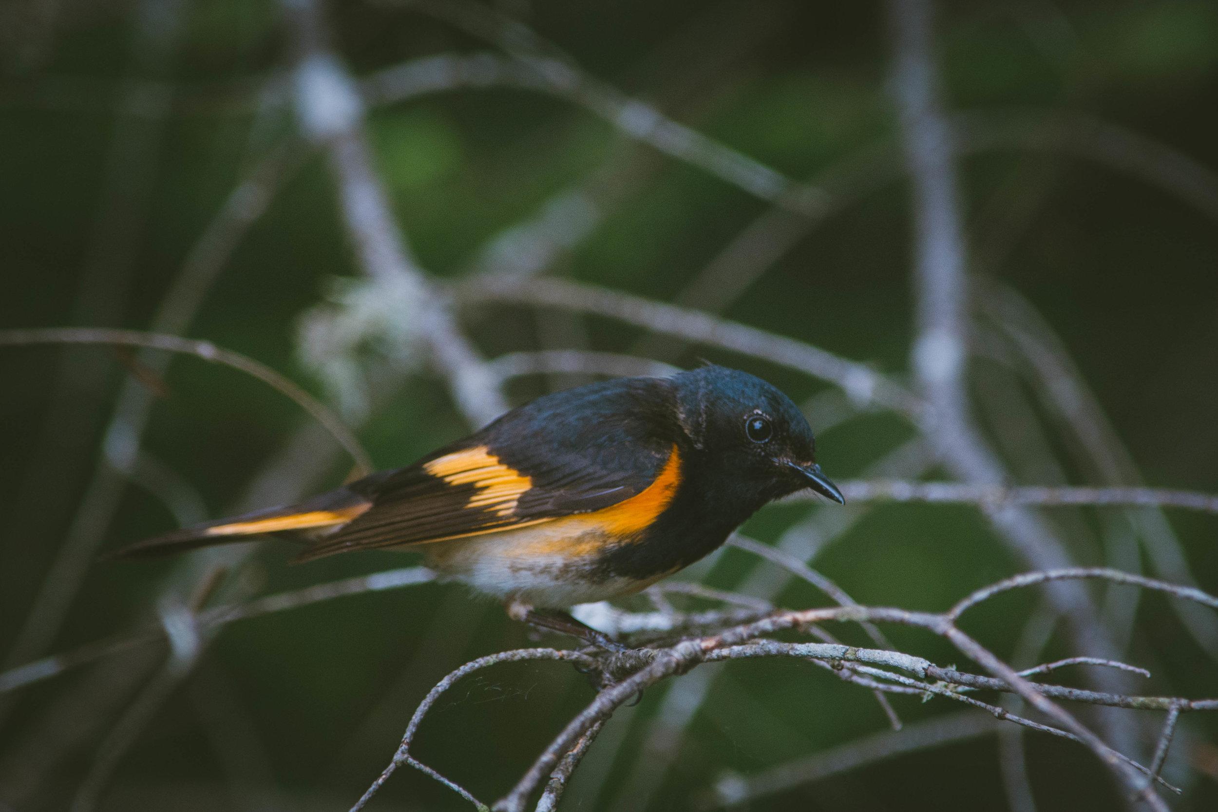 warbler-14.jpg