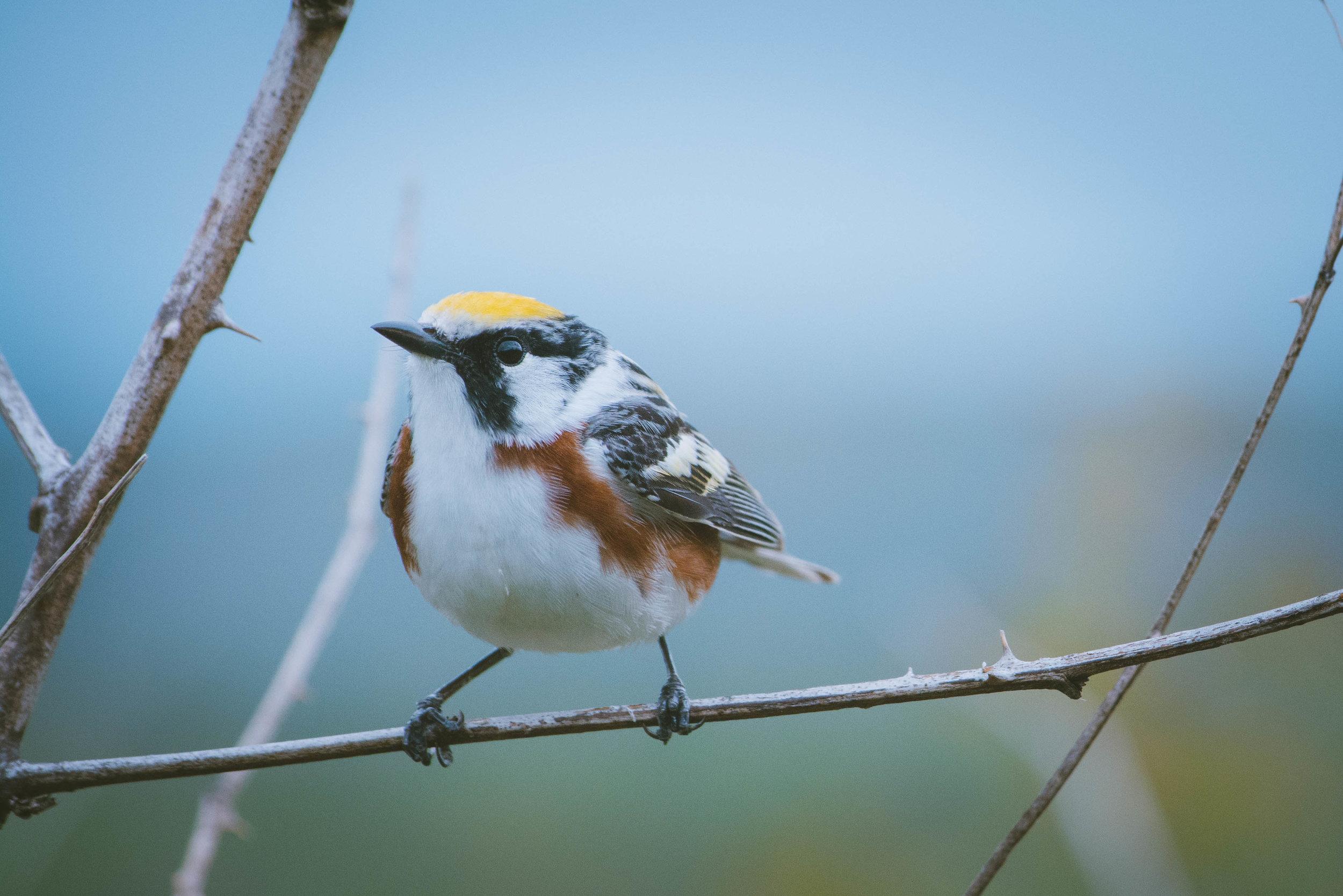 warbler-12.jpg