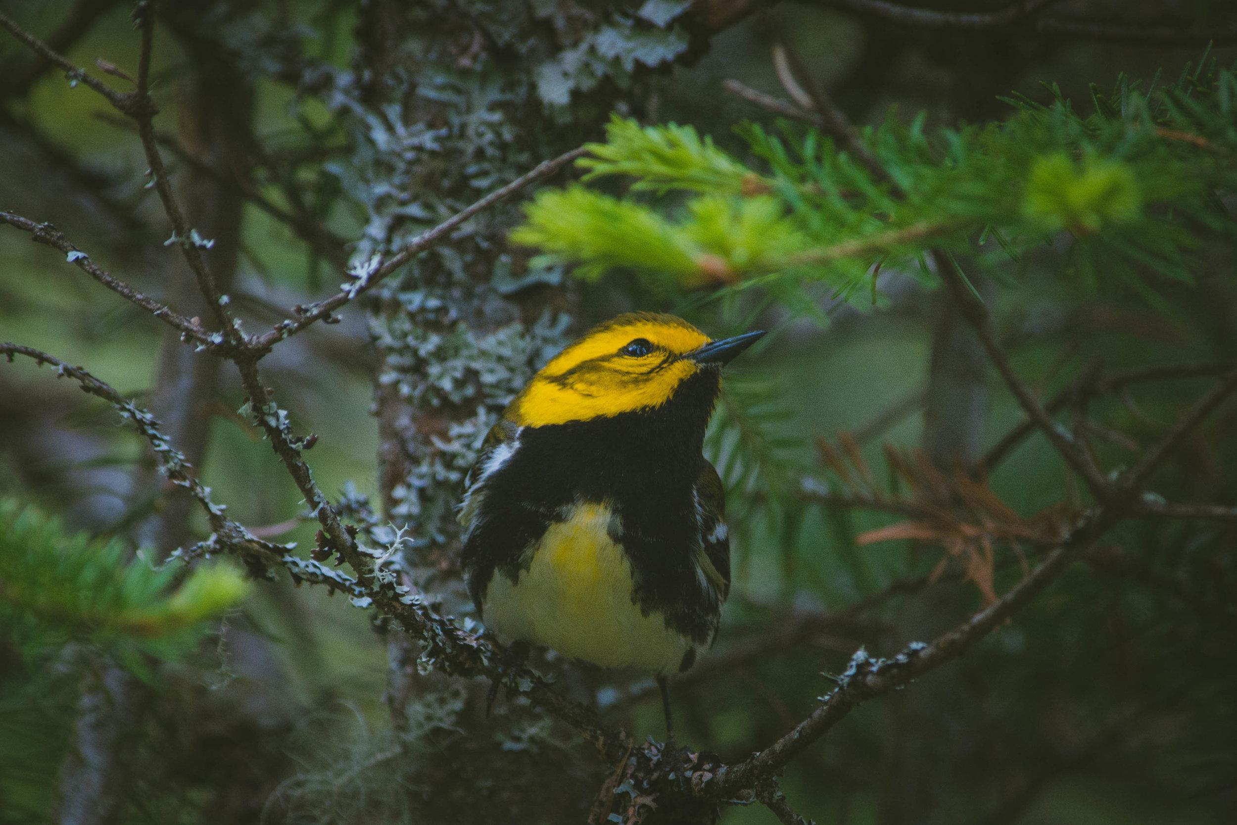 warbler-15.jpg