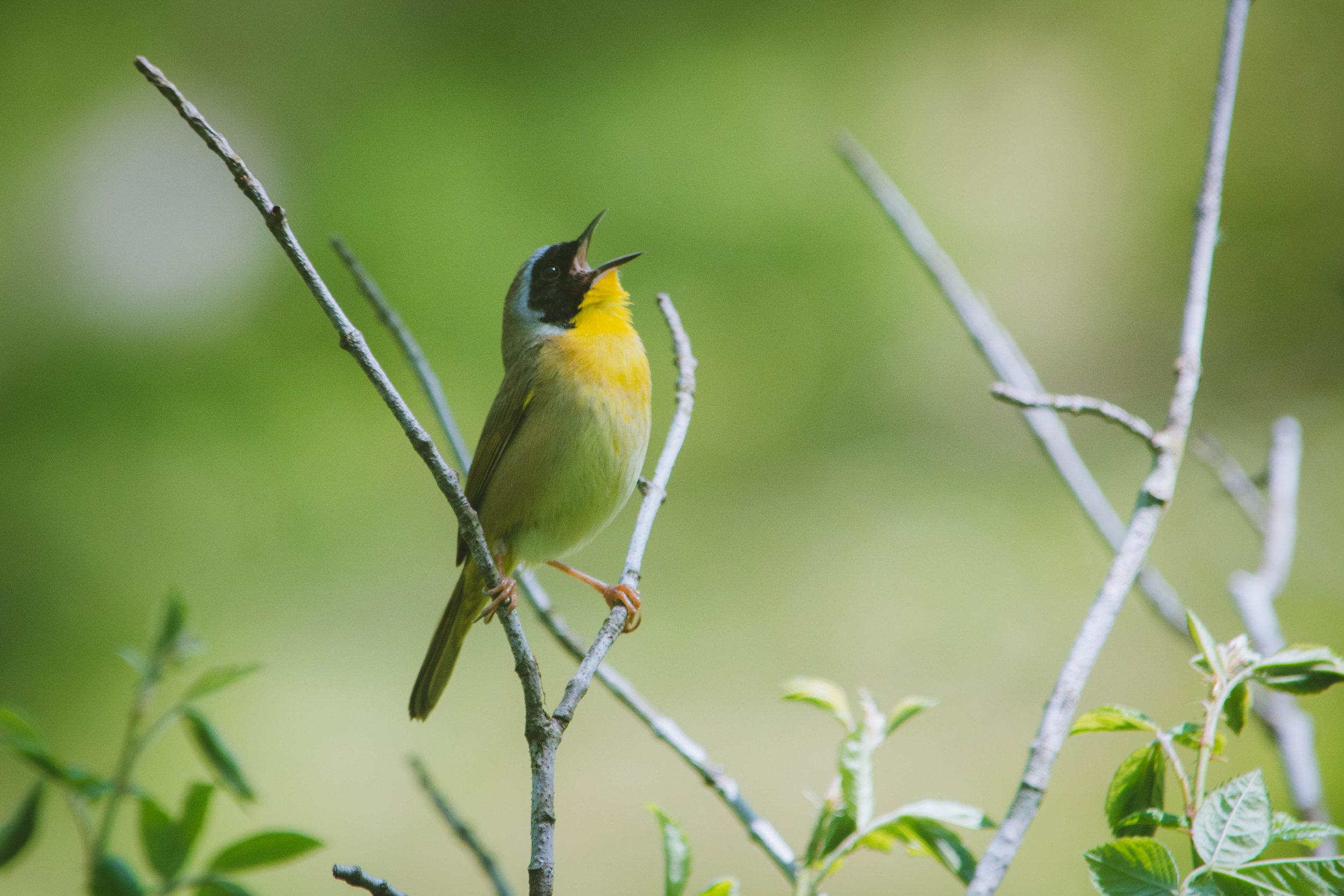 warbler-11.jpg
