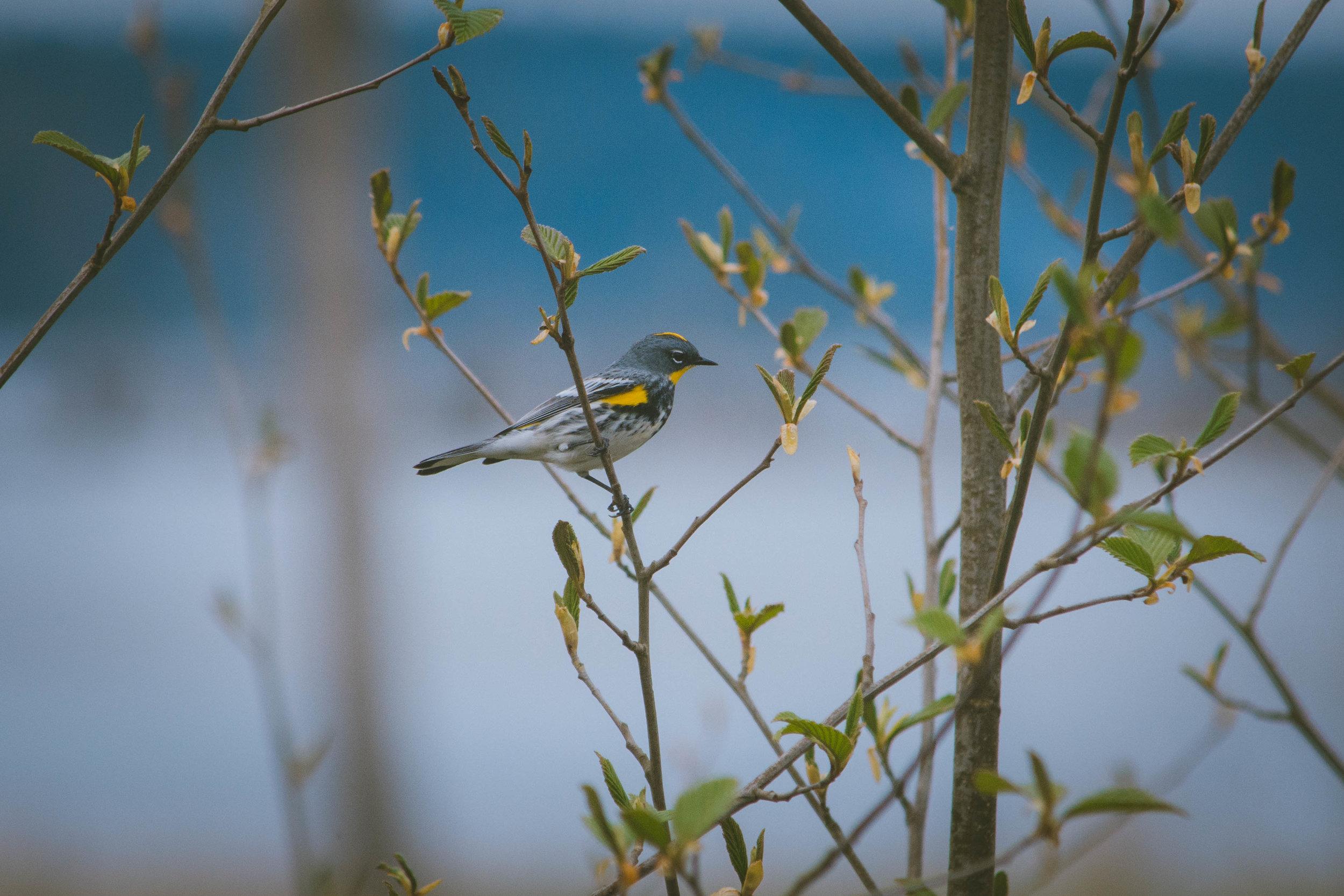 warbler-19.jpg