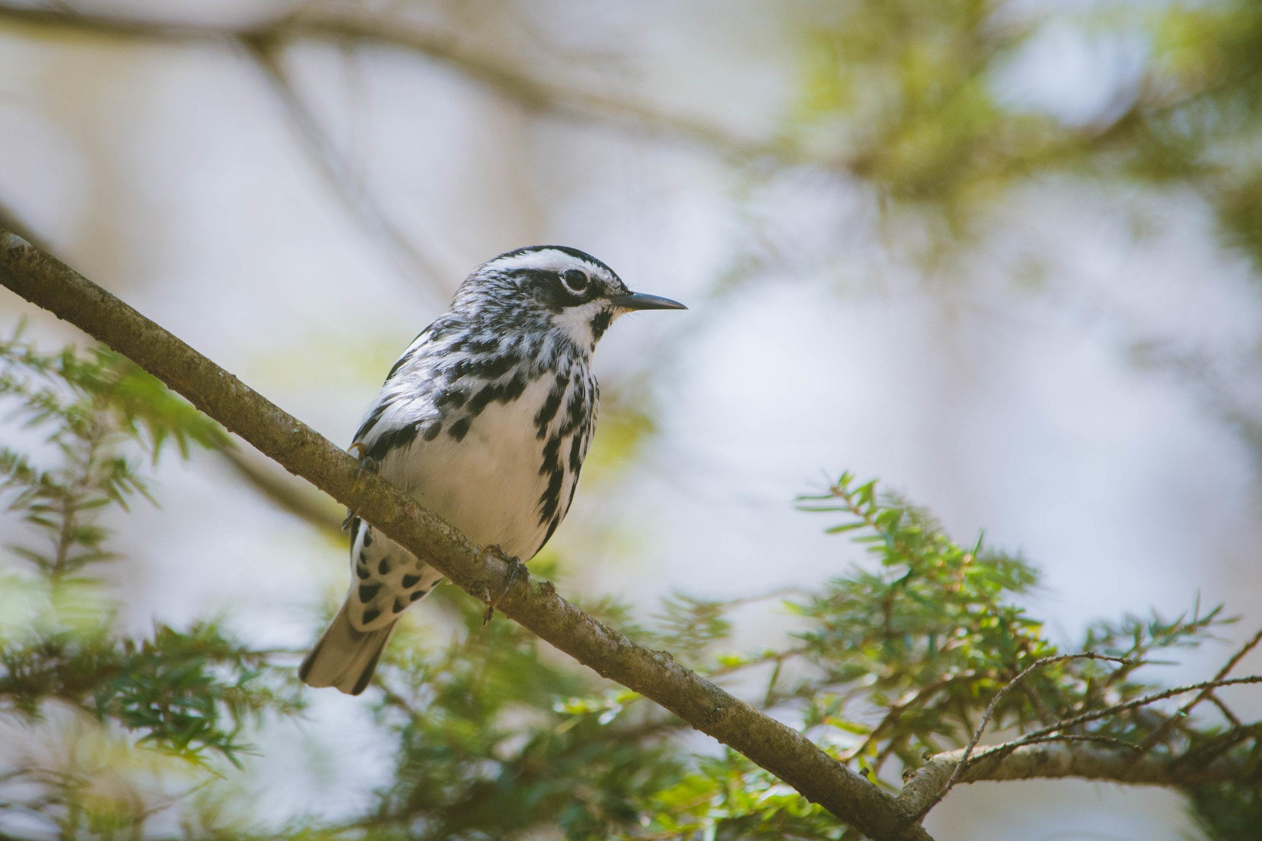 warbler-8.jpg