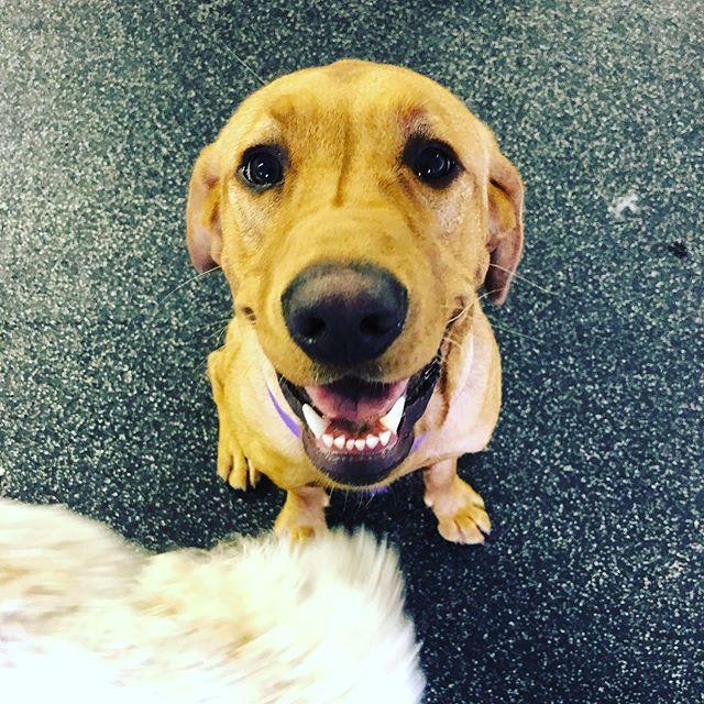 Phoenix 🔥 . . . . . #daycare #dogpack #watsonshoundlounge #whldog #dogdaycare #dogsofkelowna #okanagan  #okanagandogs #okanagansummer #instadog #dog #kelownadogs #kelowna #kelownabusiness #playtime #ohcanada #kelownanow -M