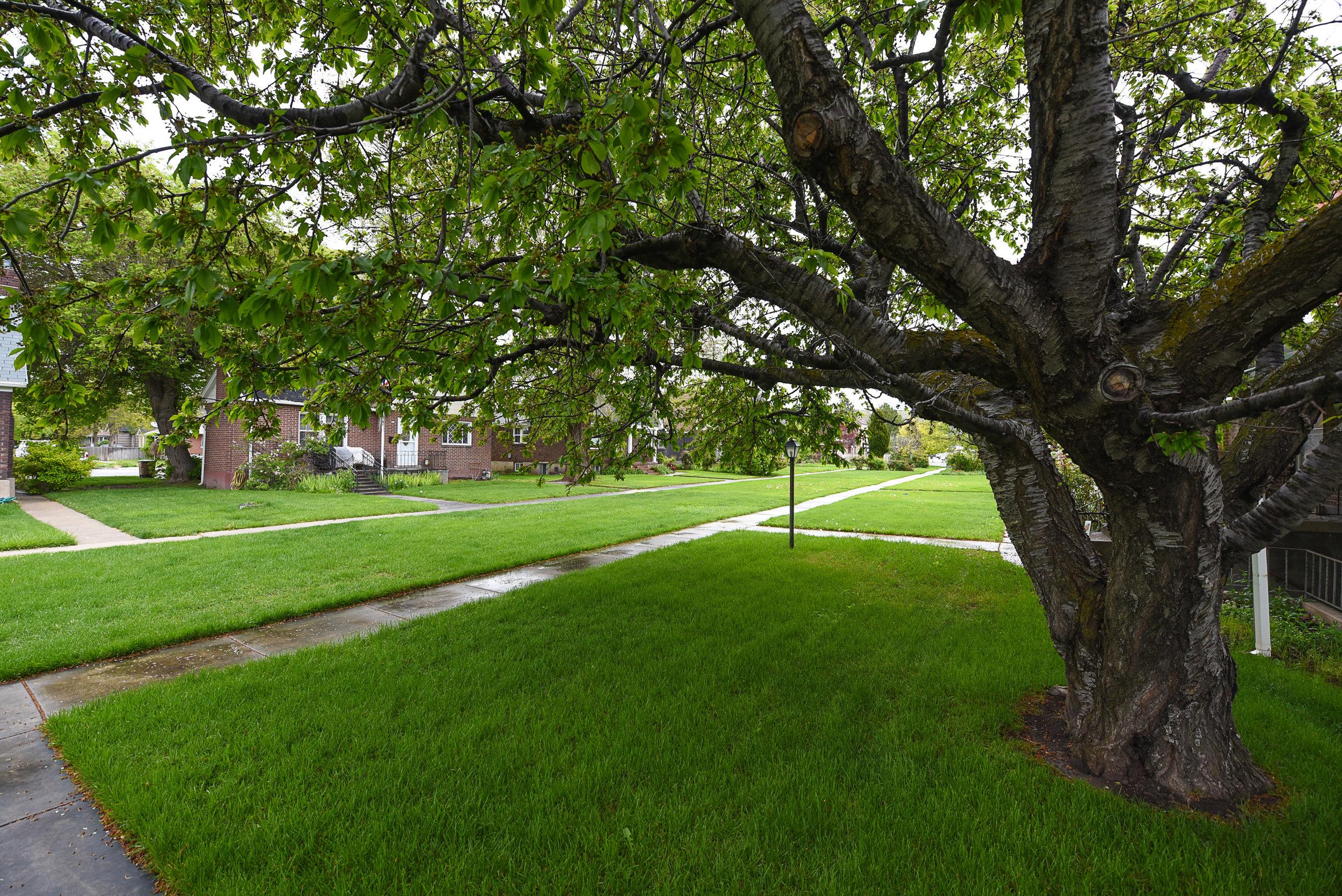cherry tree2.jpg