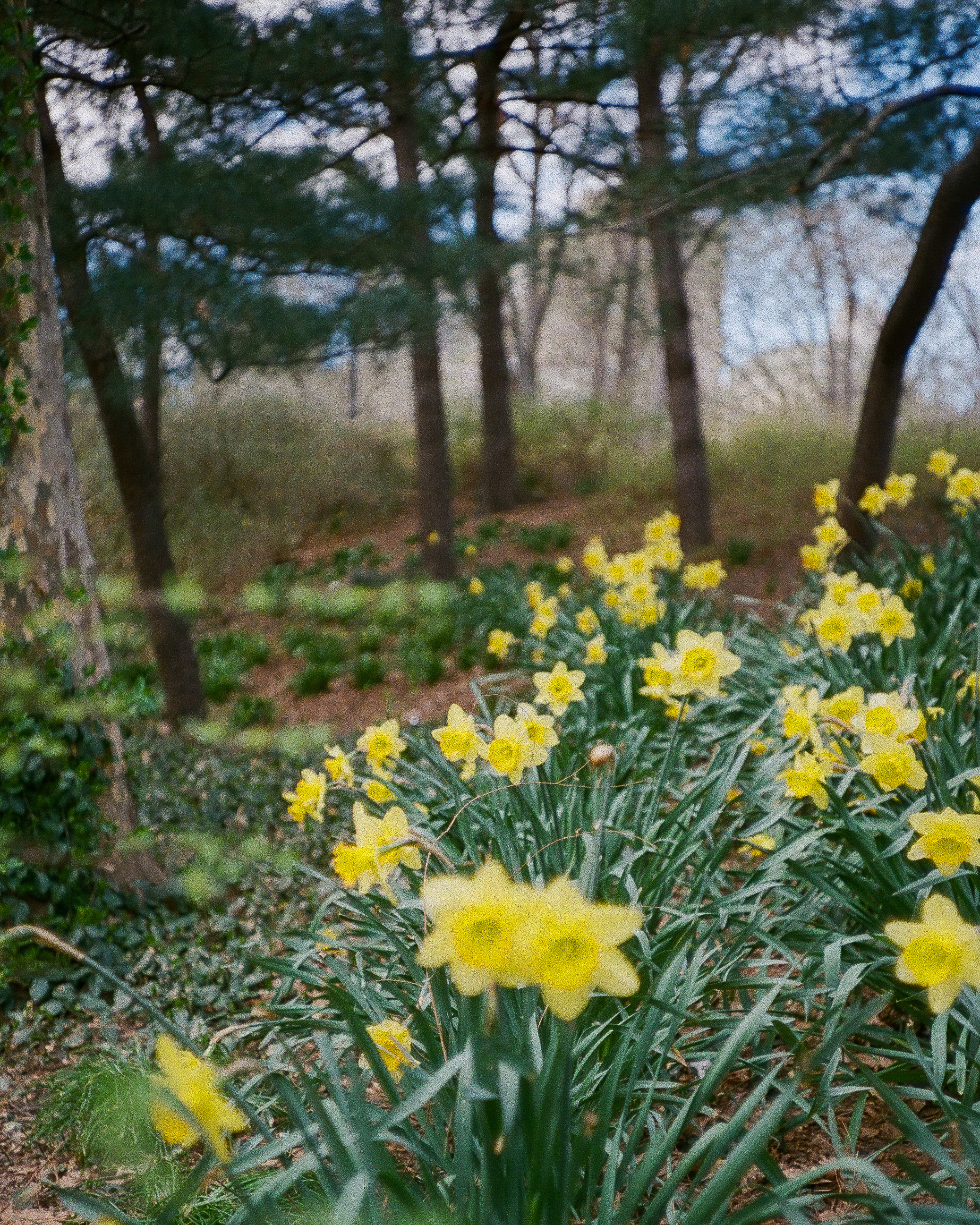 Central Park Narcissus