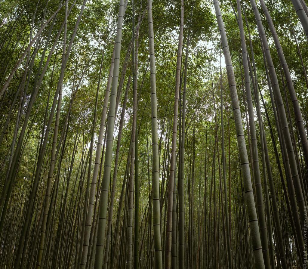 Interlude, the Bamboo Being Admired | Credit: Boris Giltburg