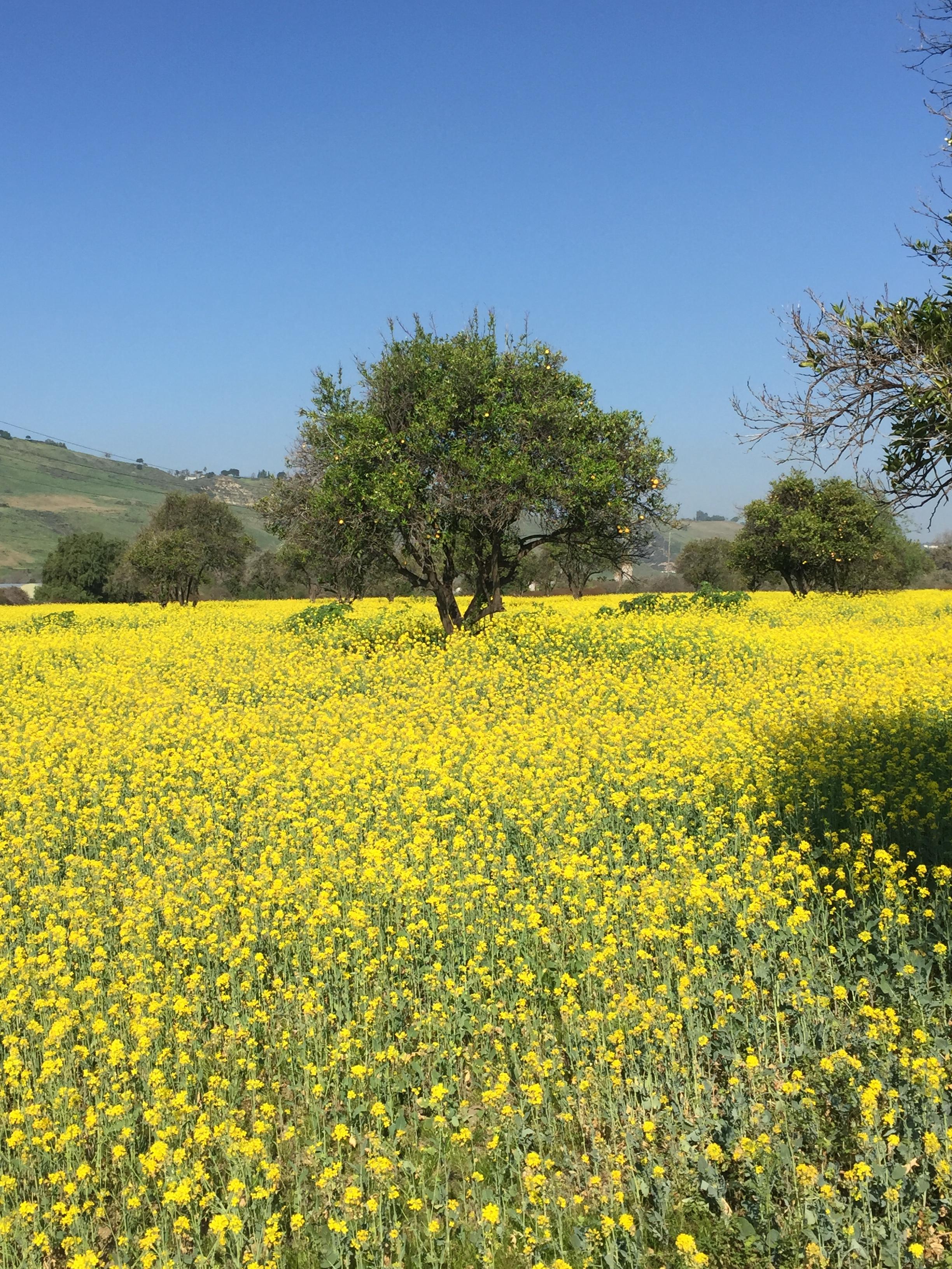 San Juan Capistrano Orange and Mustard Fields