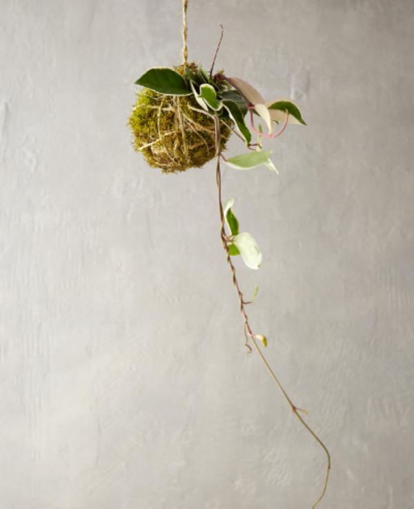 Hoya 'Tri-Color' String Garden - Terrain $48.00